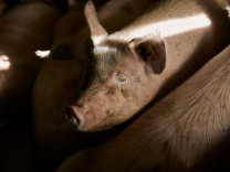 Pigs on farm property released ACPF01090