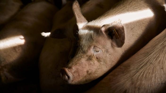Pigs on farm property released ACPF01090