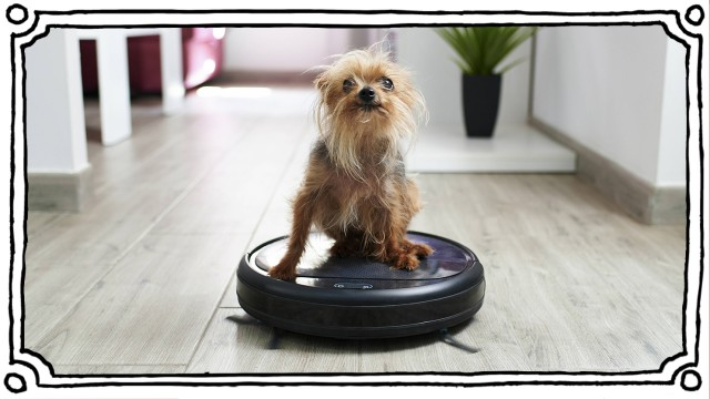 Close-up of Yorkshire terrier on robotic vacuum cleaner at home property released KIJF03041