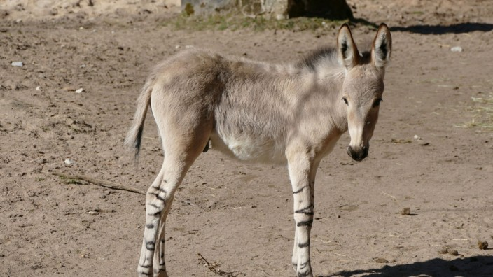 Somali-Wildesel im Nürnberger Tiergarten geboren