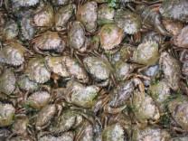 Invasive Arten: Die Rache der Strandkrabben