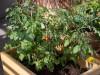 Beet- und Balkonpflanzen säen: Lichtkeimer nicht abdecken
