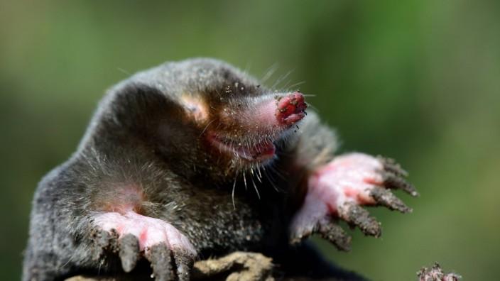 European mole Talpa europaea at the surface Alsace France September PUBLICATIONxINxGERxSUIxAUT