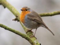 Vogel des Jahres: Rotkehlchen: Habemus Vogel!