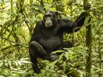 Schimpanse Pan Troglodytes im Wald sitzt auf Baum Kibale Nationalpark Uganda Afrika Copyright