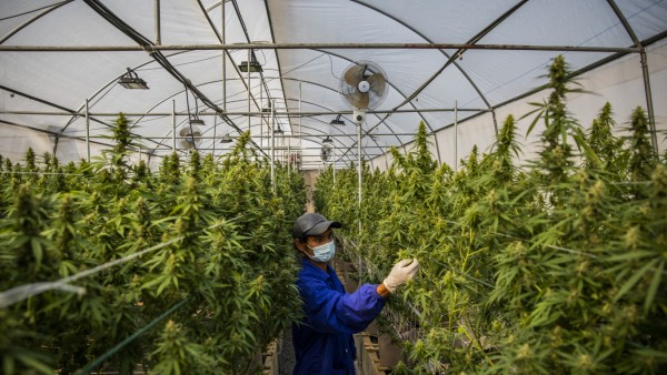 Thailand's Medical Marijuana Growing Facilities