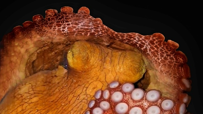 An octopus in seen in its 'active sleep' state during a laboratory study at the Brain Institute of the Federal University of Rio Grande do Norte in Natal