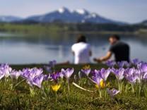 30.03.2021, Ausflugsort Hopfen am Hopfensee (Bei Füssen), an der Promenade blühen Krokusse, in der Wiese am See liegen d