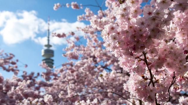Kirschblüte in Bayern
