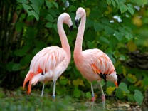 Gestohlene Zootiere: Wanted: Flamingo