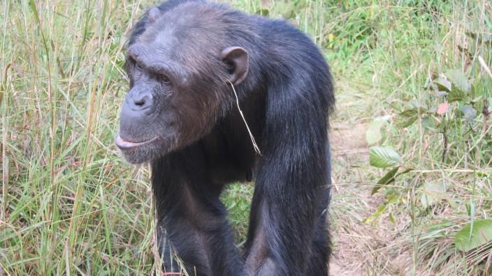Kultur bei Schimpansen