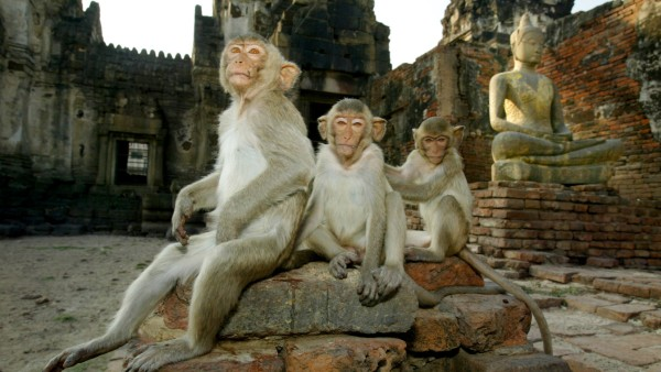 Monkeys Of Lopburi, Thailand