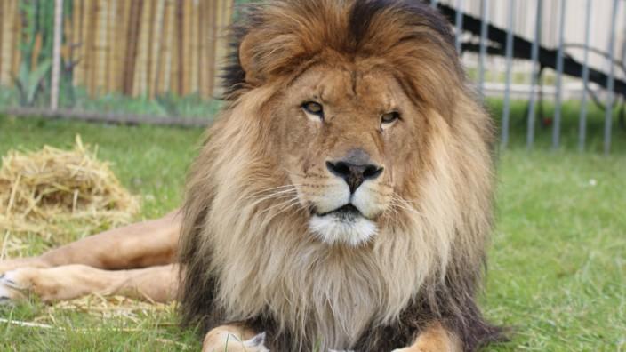 Circus Krone: Löwe Kasanga gestorben