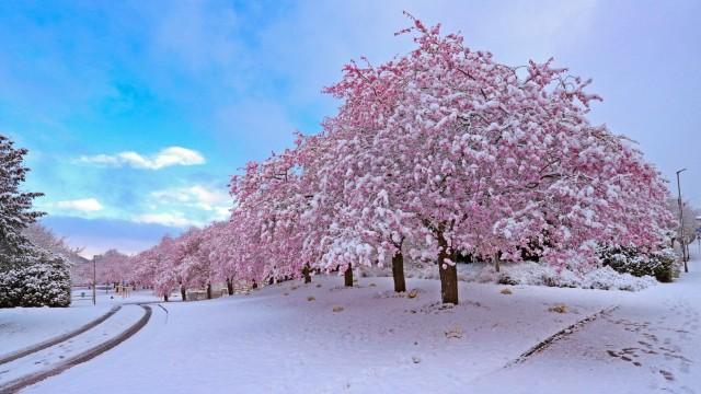 Mit Schnee bedeckte Kirschbluete am Wellersberg, Wintereinbruch im Fruehling, in der Nacht hat es geschneit und es schn