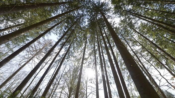 Baumkronen in einem Wald bei München, 2020