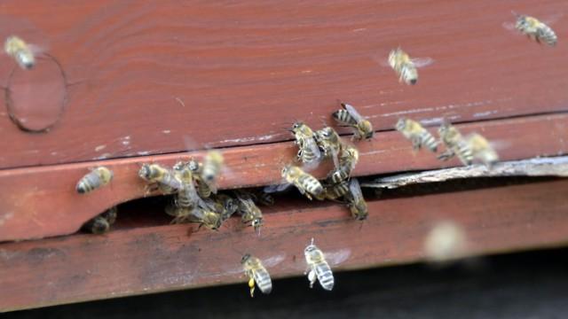 Artenschutz: Unruhe vor der Beute: Zum Glück sind es aber doch keine Raubbienen, die hier ein Volk verjagen wollen.