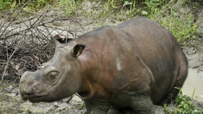 Photo of Kertam, a young male Sumatran rhinoceros from Borneo whose genome was sequenced for this study.