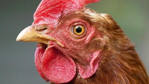 Haushuhn Gallus gallus f domestica Portraet einer braunen Henne Deutschland Baden Wuerttemberg