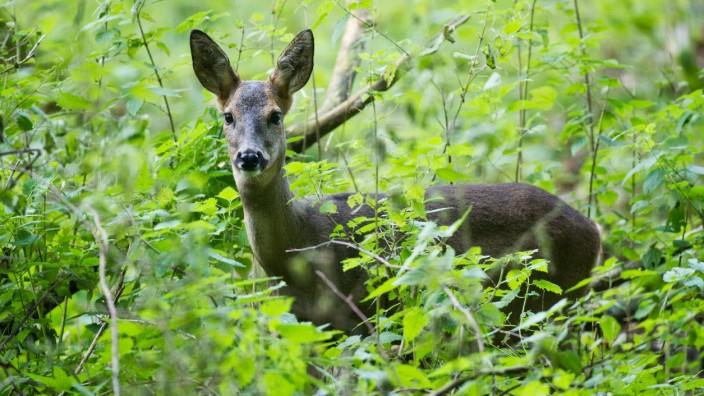 Ein Reh in einem Wald unweit von Neuruppin im Nordwesten von Brandenburg, aufgenommen am 20.10.2011.