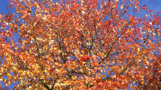American sweetgum (Liquidambar styraciflua) in autumn JTF01737
