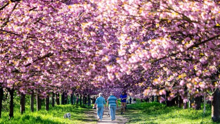 Die TV Asahi Kirschblütenallee auf dem Grenzstreifen von Berlin und Brandenburg am 10. Mai 2021 in Berlin. Passanten in