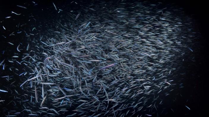 Spratelloides delicatulus Spratelloides delicatulus Fischschwarm im Lichtkegel bei Nacht Indisch