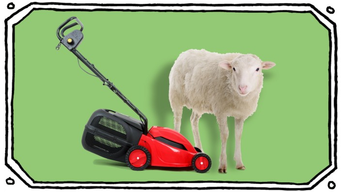 Rasenmäher vs. Schaf