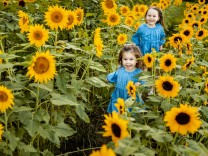 Creative Highlights Symbolbilder Two little sisters running together in sunflower field model released Symbolfoto AWAF0