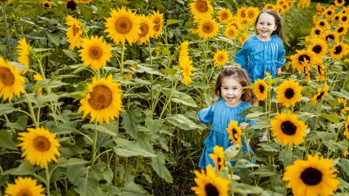 Creative Highlights Symbolbilder Two little sisters running together in sunflower field model released Symbolfoto AWAF0