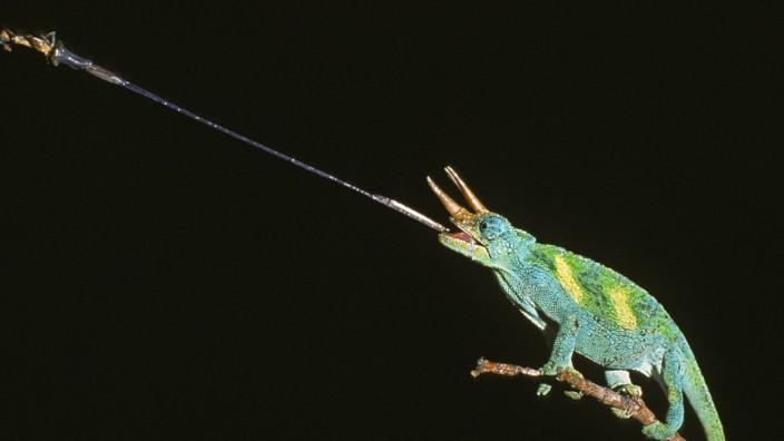 Jackson s Chameleon chamaeleo jacksoni Male striking at an Insect PUBLICATIONxINxGERxSUIxAUTxONLY