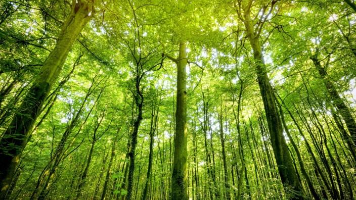 Naturwald in Klingberg, Scharbeutz, Schleswig-Holstein, Deutschland, Europa *** Natural forest in Klingberg, Scharbeutz