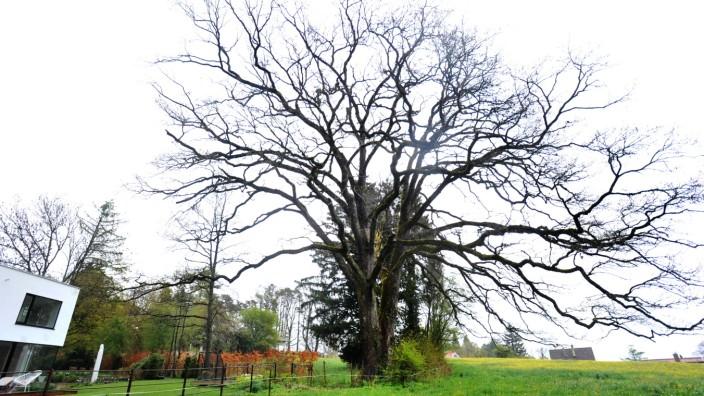 Tutzing: Betonplatte beinträchtigt Eichenbaum