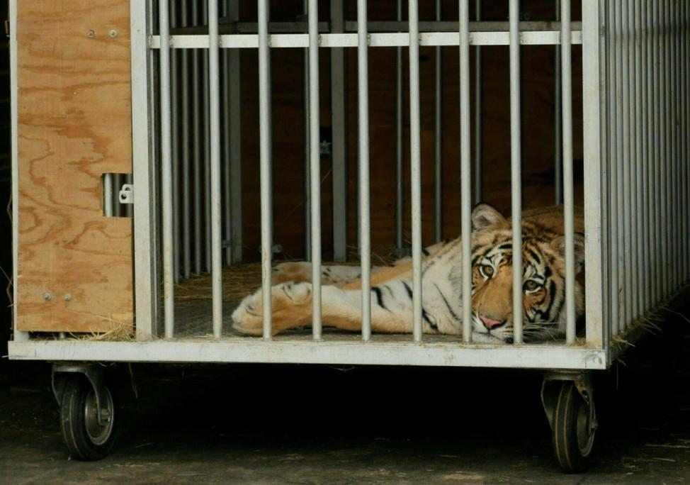 """Bengalischer Tiger """"India"""" nach seiner Gefangennahme in Houston, Texas."""