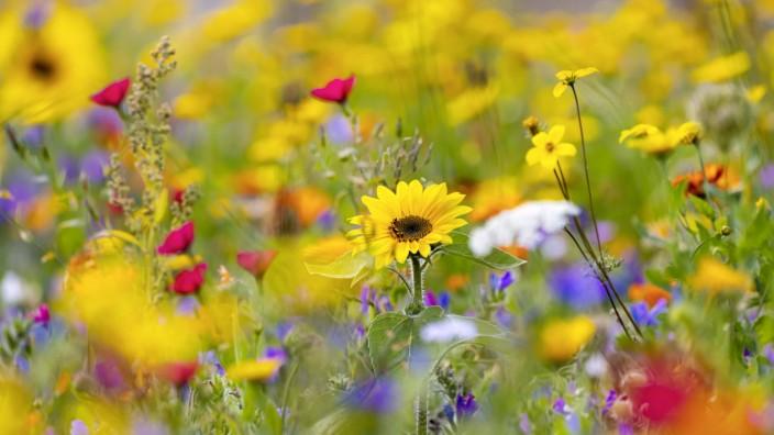 DEU, Deutschland, Baden-Württemberg, Berghülen, 22.09.2019: Spätsommerliche Blumenwiese in Berghülen auf der Schwäbisch
