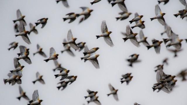 Masseneinflug von Bergfinken in Hessen