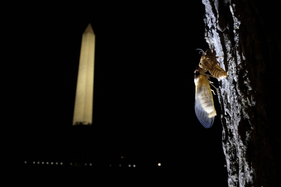 A newly emerged adult cicada dries its wings on a tree at the National Mall in Washington U.S.