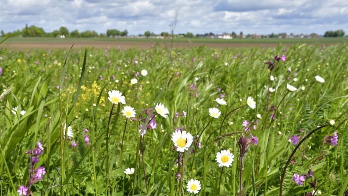 """Projekt """"Artenvielfalt-Wiese"""" in Oberding: Lichtnelken, Margeriten, Barbarakraut und viele weitere Wildblumen wachsen auf der Wiese des Bund Naturschutz bei Notzing."""
