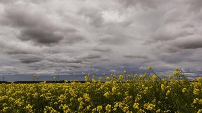 Ein Rapsfeld bei bewölktem Himmel in der Nähe von Erftstadt ( Rhein-Erft-Kreis NRW ). Rapsfeld *** A rape field under cl