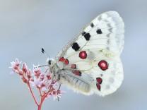 Artensterben: Der Schmetterlingseffekt