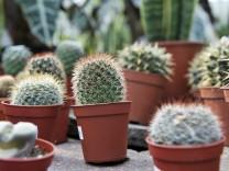 Pflanzenschmuggel: Kleiner grüner Kaktus gesucht