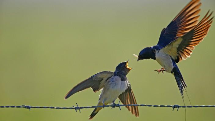 Rauchschwalbe, Rauch-Schwalbe (Hirundo rustica), Altvogel fuettert im Flug einen flueggen Jungvogel