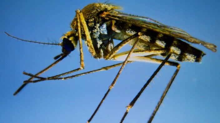Forscher fahnden nach neuenStechmückenarten