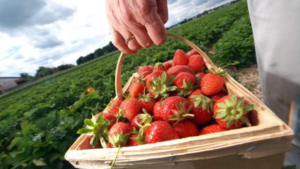 Erdbeeren zum Selberpflücken in Olching, 2011