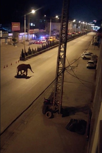 An elephant walks along a road in Eshan, Yunan, China