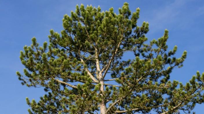 Schwarzkiefer Pinus nigra Schwarzföhre Gattung Kiefern Pinus Familie Kieferngewächse Pinaceae
