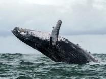 Leute des Tages: 30 Sekunden im Maul eines Buckelwals