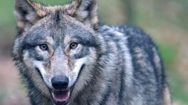 Illustration zu Wölfe in Hessen