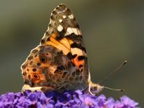 Insekten: Distelfalter ziehen aus Westafrika bis Deutschland