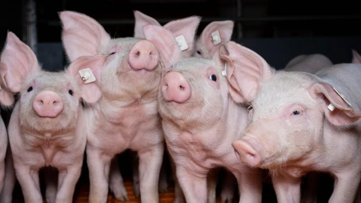 Schweinehaltung - Ferkel, mehrere Ferkel nebeneinander blicken neuierig. Ferkelaufzucht - niedliche Ferkel mit neugierig