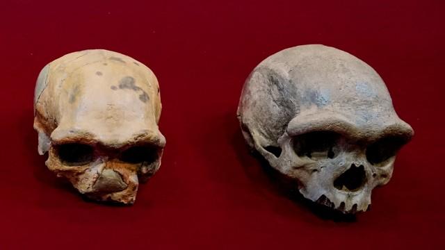 Schädelfund in China: Urmenschenschädel aus China, rechts der Fund aus Harbin.
